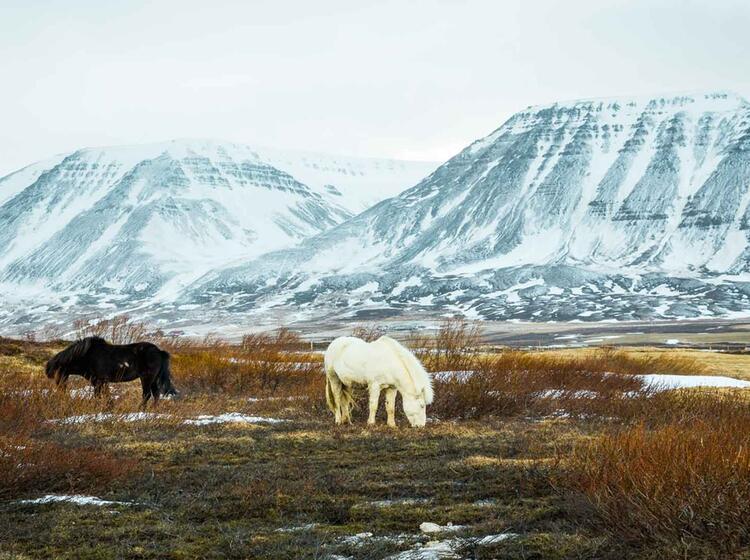 Die Island Ponnys Auf Der Skitourenreise