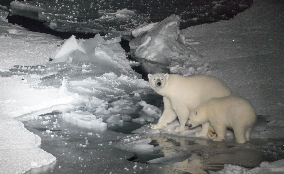 Eine Polarbaerin Mit Ihrem Einjaehrigen Jungen Ueberquert Das Eis Im Scheinwerferlicht Der Polarstern