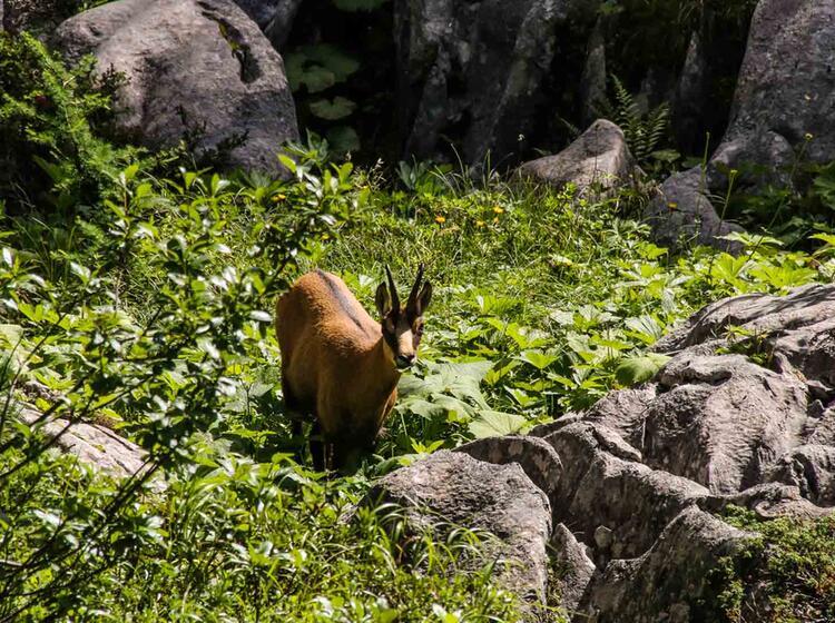 Gams Am Wegesrand Im Nationalpark Berchtesgaden