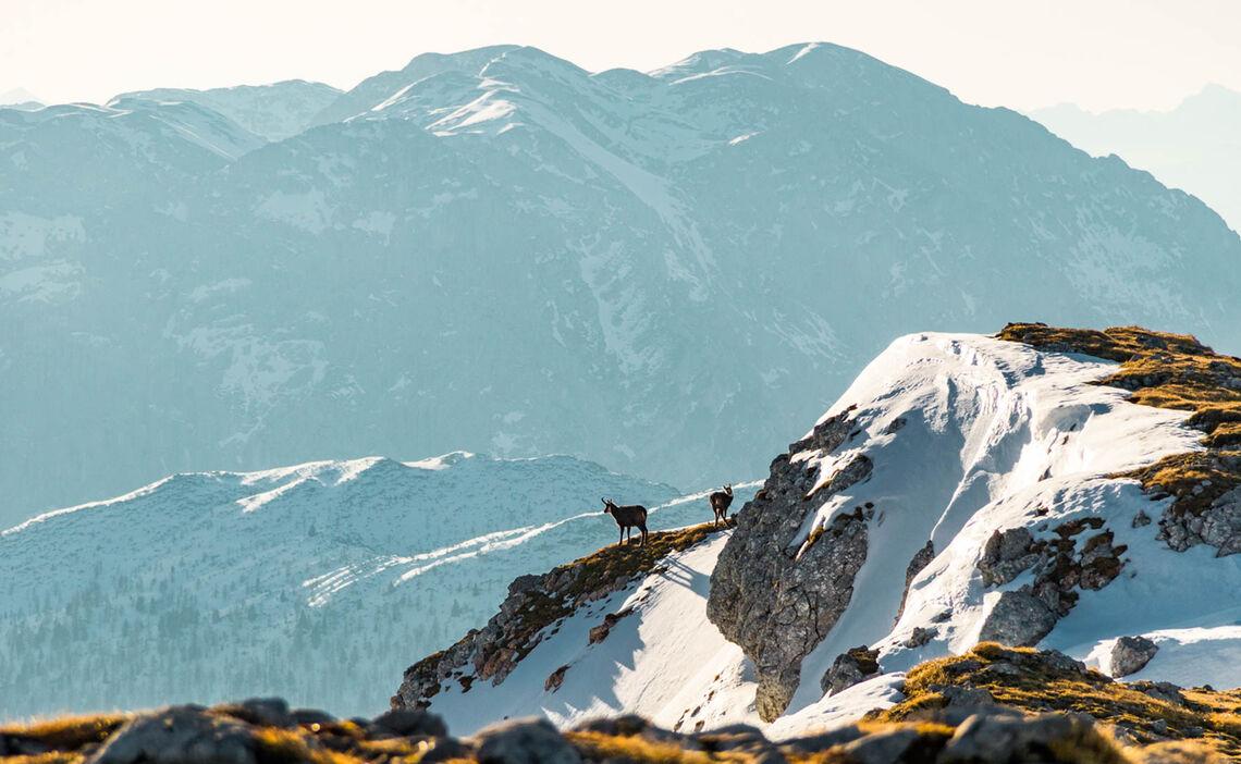Gemsen Am Schneibstein In Berchtesgaden