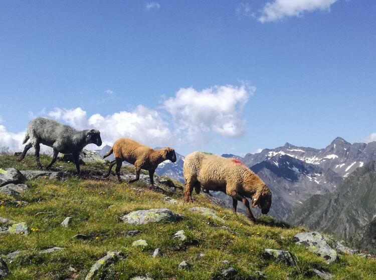 Schafe Am Weg Nach Meran Auf Der Alpenueberquerung
