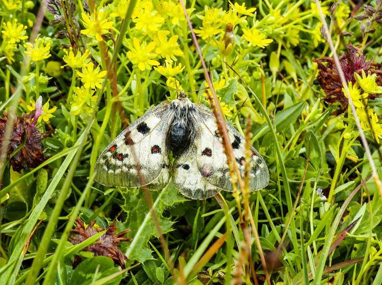 Schmetterling Auf Der Glocknerrunde