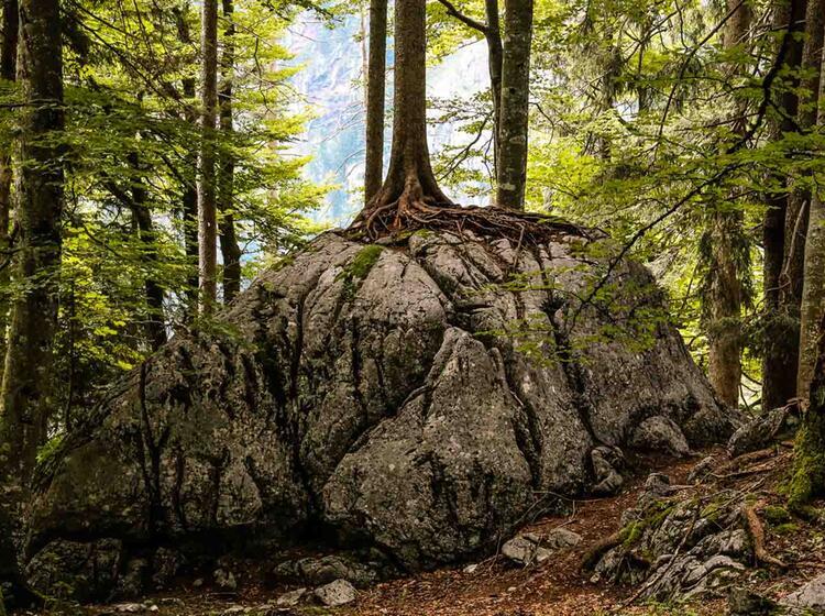 Urspruengliche Wald Landschaft Im Nationalpark Berchtesgaden Auf Der Gefuehrten Wanderung